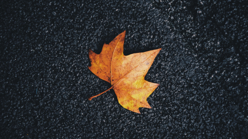 Autumn Maple Leaf on Surface