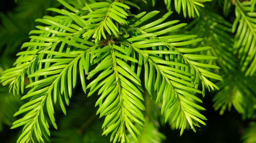 Beautiful Green Spruce Branch