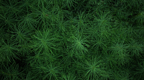 Beautiful Green Spruce Macro Photo