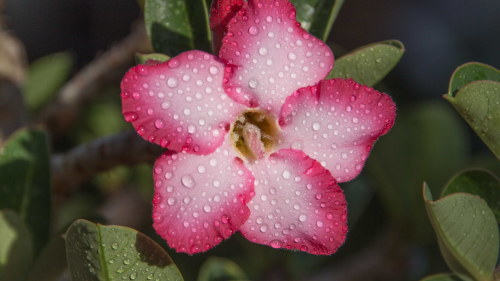 Beautiful Pink Flower and Water Drops
