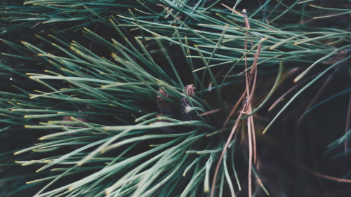 Beautiful Spruce Branches Spines