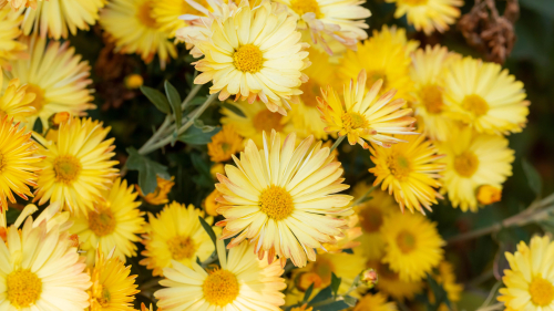 Beautiful Yellow Chrysanthemum