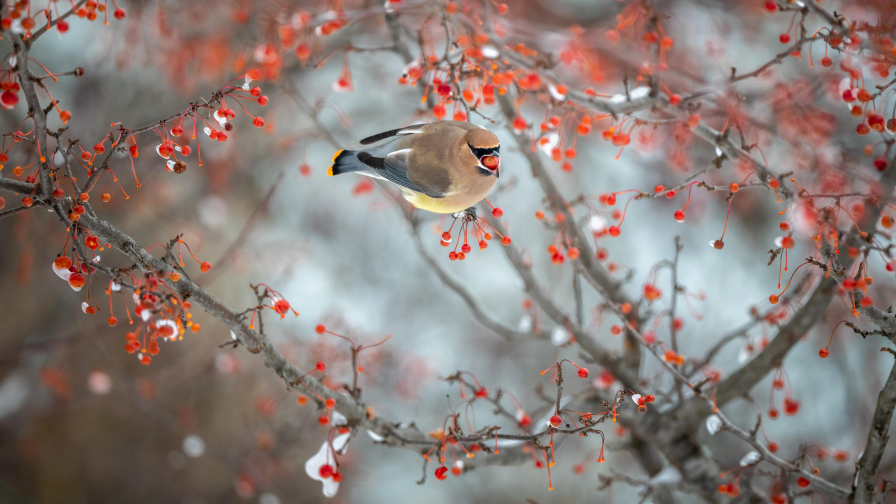 Brown Ash Chubby Waxwing Bird on Berry Branch