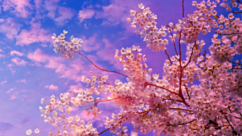 Cherry Branches and Flowers