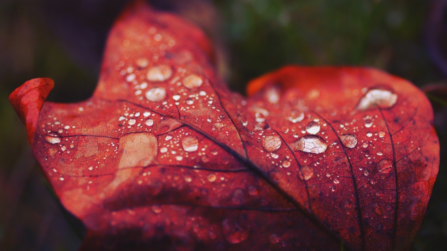 Droplets on Red Leaves Macro
