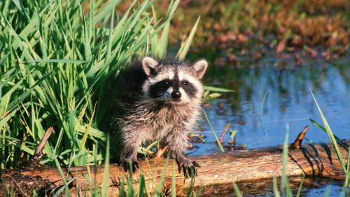 Funny Raccoon on River