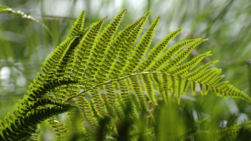 Green Fern and Sunlight