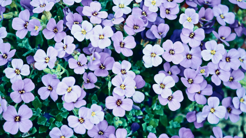 Many Little Beautiful Purple Flowers
