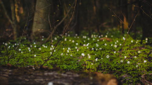 Many Little White Flowers and Grass in Spring Forest