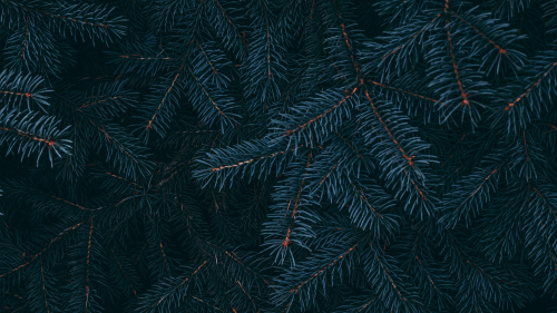 Needles on Spruce Branch