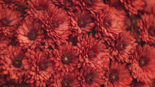 Red Chrysanthemum Macro Photography