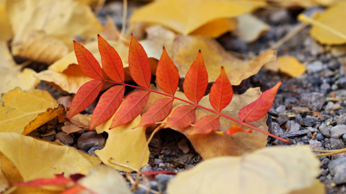 Red Leaf and Yellow Leaves