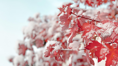Red Leaves and Snow on Branches