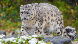 Snow Leopard Big Cat on Grass