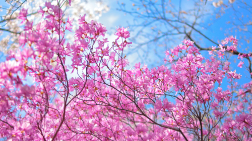 Spring Pink Flowers on the Trees