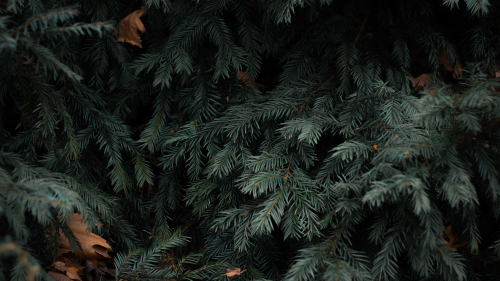 Spruce Green Branches and Needles