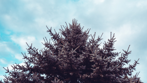 Spruce Tree and Sky