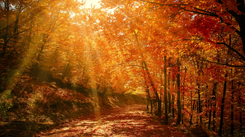 Wonderful Autumn Yellow Forest and Sunbeam