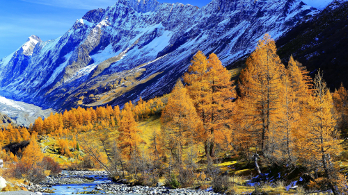 Yellow Autumn Forest and Snowy Mountains