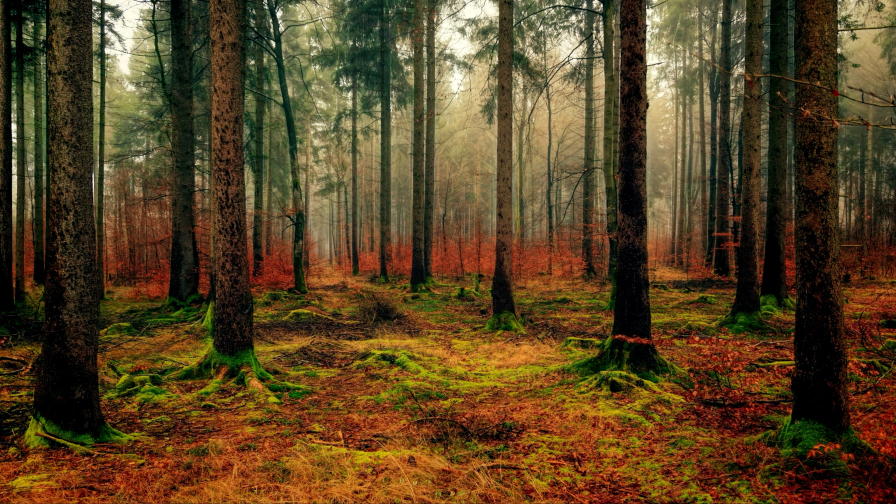 Beautiful Old Autumn Pine Forest