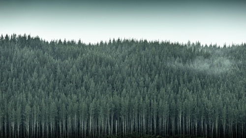 Beautiful Pine Forest and Mist
